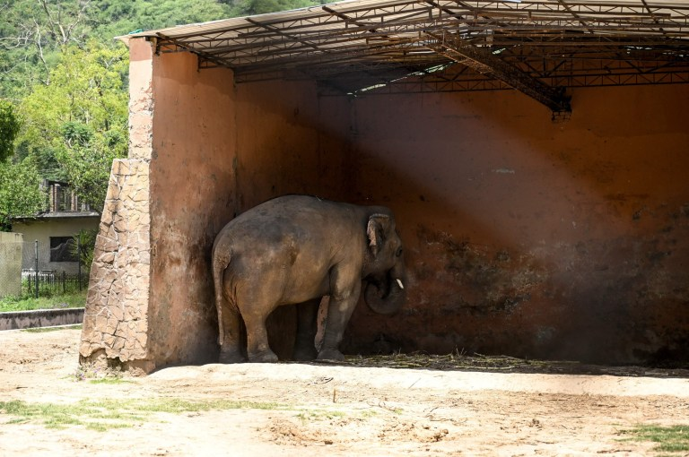 Elephant Kaavan stands under the cover of its shed behind a fence at the Marghazar Zoo in Islamabad on May 22, 2020. - Music icon Cher shared her delight after a Pakistani court ordered freedom for a lonely elephant, who had become the subject of a high-profile rights campaign backed by the US singer. (Photo by Aamir QURESHI / AFP) (Photo by AAMIR QURESHI/AFP via Getty Images)