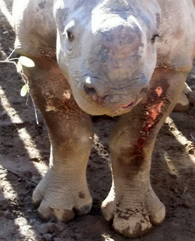 A young black rhino (pictured) gunned down by poachers who slaughtered her mother has been nursed back to full health.