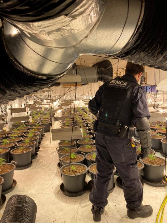 National Crime Agency officers have actually found an enormous three-floor marijuana farm in a previous bar in Coventry. See SWNS story SWMDcannabis; They robbed the home on Trinity Street on Thursday [15 October], smashing through a number of strengthened doors to access the grow. When they got in they found around 1000 marijuana plants spread out throughout the building?s 3 floorings. NCA specialists value the haul at over ?1 million. As well as the plants officers recuperated advanced planting, growing and watering devices, valued at around ?150,000. Three guys were apprehended. Two were apprehended with the support of West Midlands Police drone system as they tried to get away the structure.