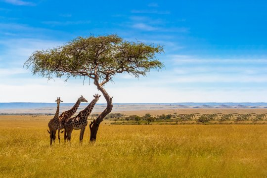 Three giraffes under acacia tree in the african savannah