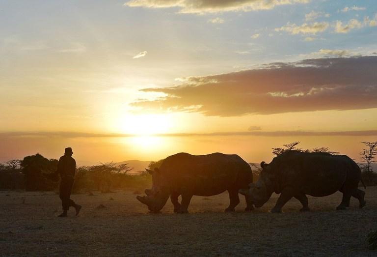 Un guarda del parc camina per davant d'una rinoceront de femella blanca del nord anomenada Najin i una companya de femella blanca del sud a Ol Pejeta Conservancy, a uns 290 km al nord de la capital kenyana, Nairobi, el 27 de gener de 2015. Najin és un dels únics cinc membres de les subespècies que queden al planeta, tres de les quals resideixen a Ol Pejeta Conservancy.  Els conservacionistes i els científics es van reunir aquesta setmana a Kenya per plantejar un darrer pla per salvar el rinoceront blanc del nord de l'extinció.  FOTOGRAFIA AFP / TONY KARUMBA - PER A LA HISTORYRIA AFP DE TRISTAN MCCONNELL (El crèdit de la foto hauria de llegir-se TONY KARUMBA / AFP a través de Getty Images)