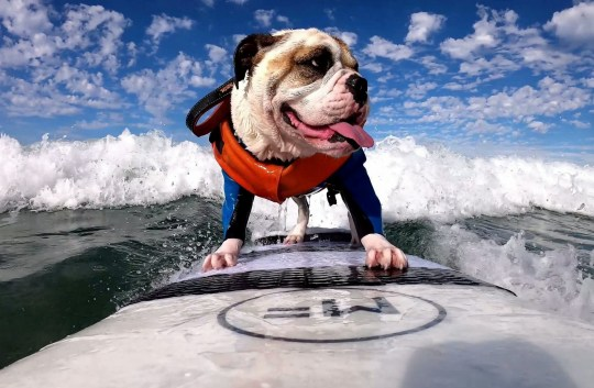 Video grab from the incredible footage of Rothstein the Bulldog and his awesome surfing skills at the beach city of Del Mar, San Diego. See SWNS story SWBRbulldog. Meet Rothstein: the sea faring bulldog with a passion for surfing. The talented dog has been surfing at the beach city of Del Mar, San Diego since he was a puppy. Footage shows 3-year-old Rothstein clearly having the time of his life as he effortlessly glides through the water under the watchful eye of his owner John Garcia.