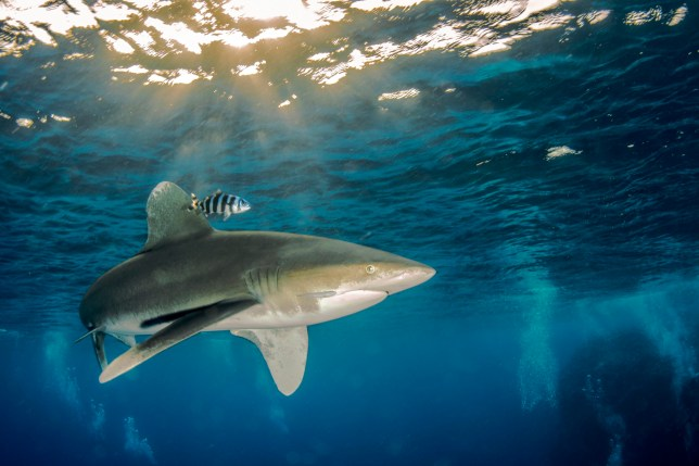 An Oceanic Whitetip shark, which is thought to have attacked the group in the Red Sea