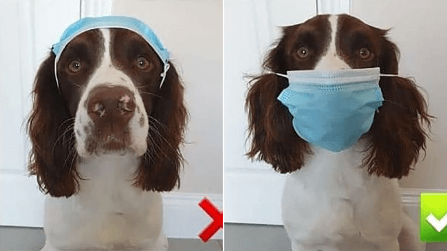Dog showing correct way to wear face mask