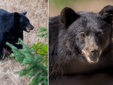 62 bears slaughtered with bows and arrows during first day of controversial hunt