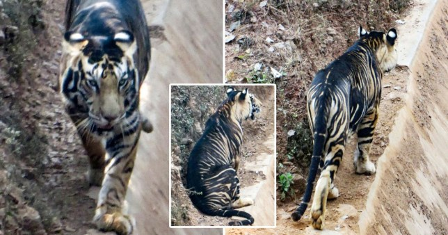 Photos of a black tiger, taken in Odisha, India by amateur photographer Soumen Bajpayee