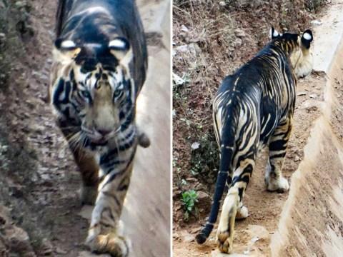 Rare black tiger nearing extinction caught on camera
