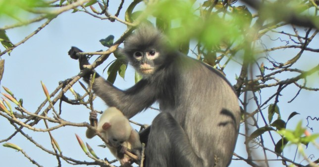 Le singe Popa langur