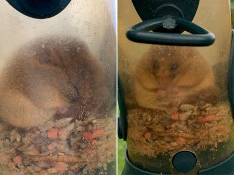 Greedy dormouse ate so many seeds in bird feeder it was too chubby to get out