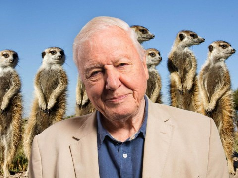 Sir David Attenborough presenting new Dynasties special on meerkats this Christmas