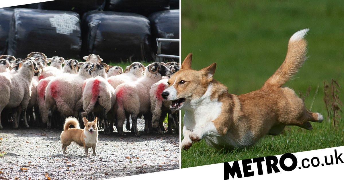 Corgi lands job as farm's sheepdog