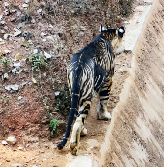 Le photographe amateur Soumen Bajpayee a pris des photos d'un tigre mélanique extrêmement rare chez un tigre dans la réserve Simlipal et le sanctuaire Nandankanan dans l'est de l'Odisha, en Inde.