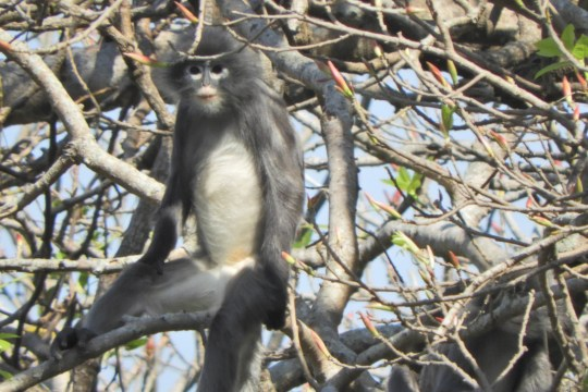 Le primate nouvellement découvert nommé Popa langur (Trachypithecus popa) est vu sur une branche d'arbre sur le mont Popa, au Myanmar.