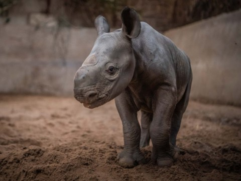 CCTV captures moment endangered baby rhino is born at Chester Zoo