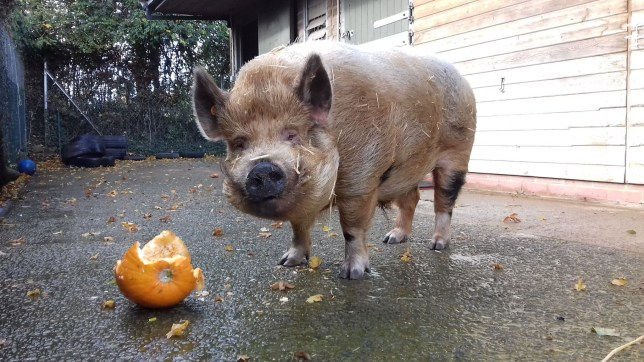 Boris the pig is looking for a home - 713 days after being found.