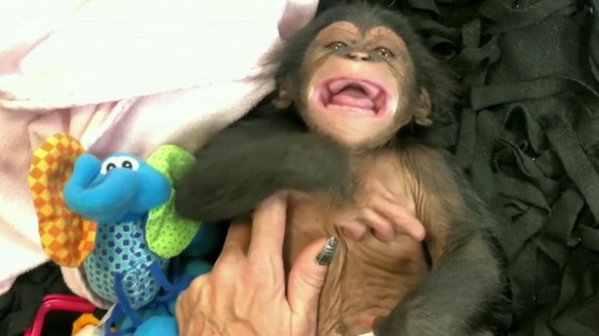 Video grab of Maisie the baby chimp having a giggle while getting tickled from a zookeeper at Maryland Zoo. See SWNS story SWOClaugh. This is the adorable moment a baby chimp laughed for the first time while getting a tickle from her zookeeper carers. Little Maisie is only 11 weeks old, and just like a human baby is learning to interact and getting to grip with facial expressions. The female chimp was born at the Oklahoma City Zoo in late August, but moved to Maryland Zoo to be hand-reared after her birth mum rejected motherhood. She is due to be paired with a surrogate chimp mum - but for now is being given round the clock care by zoo keepers.