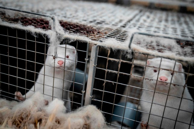 (FILES) This file photo taken on November 6, 2020 shows mink looking out from their cage at the farm of Henrik Nordgaard Hansen and Ann-Mona Kulsoe Larsen as they have to kill off their herd, which consists of 3000 mother mink and their cubs on their farm near Naestved, Denmark. - A mutated version of the new coronavirus detected in Danish minks that raised concerns about the effectiveness of a future vaccine has likely been eradicated, Denmark's health ministry said Thursday, November 19, 2020. (Photo by MADS CLAUS RASMUSSEN / Ritzau Scanpix / AFP) / Denmark OUT (Photo by MADS CLAUS RASMUSSEN/Ritzau Scanpix/AFP via Getty Images)