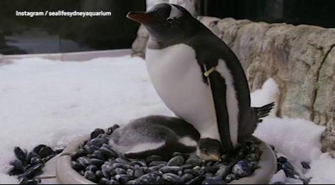 Un pingouin éclos par le couple gay de pingouins Sphen et Magic à l'aquarium de Sydney