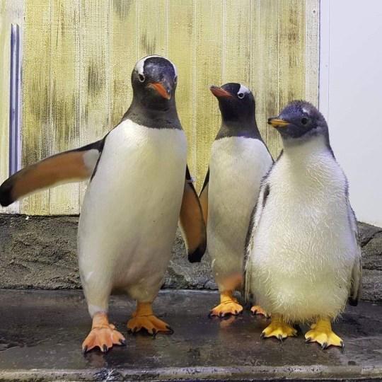 Couple gay de pingouins Sphen et Magic avec leur premier enfant Lara