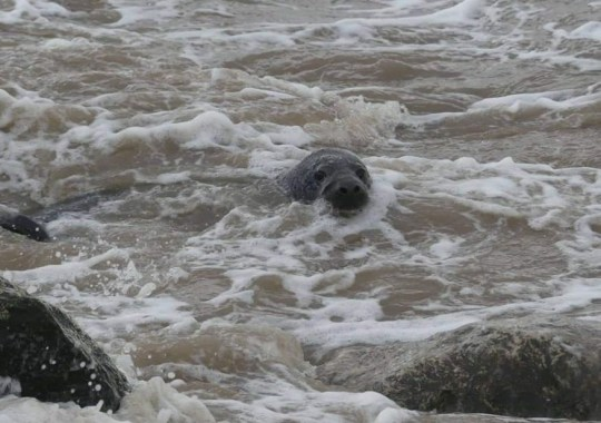 Heartwarming rescue of baby seal Pics: RSPCA