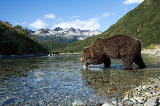 USA, Alaska, Katmai National Park, Coastal Brown Bear (Ursus arctos) wading into stream along Kinak Bay while fishing for spawning salmon