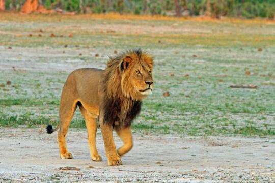Male Lion prowls across plain