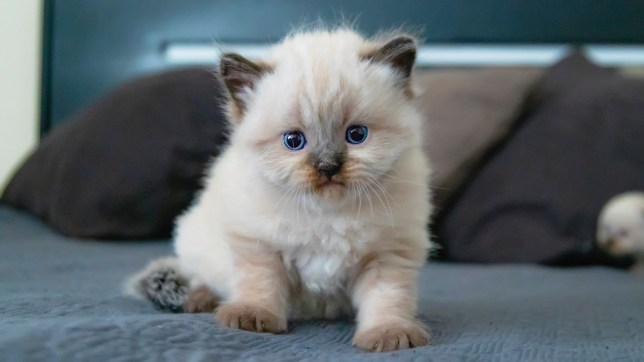 A small kitten with blue eyes sits on a soft rug.