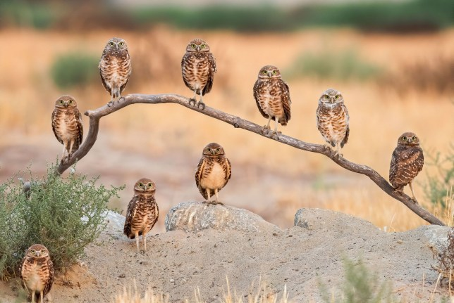 Embargoed to 0001 Tuesday December 01 Mandatory credit required NOTE: PRINT USE ONLY Undated handout photo, for print use only, issued by the Natural History Museum, of adult Burrowing owls and their chicks in Ontario, California, called Family portrait by Andrew Lee, USA, an entrant in the museum's Wildlife Photographer of the Year competition. PA Photo. Issue date: Tuesday December 1, 2020. See PA story ENVIRONMENT Photography. Mandatory credit must read: Andrew Lee/Wildlife Photographer of the Year/PA Wire NOTE TO EDITORS: This handout photo may only be used in for editorial reporting purposes for the contemporaneous illustration of events, things or the people in the image or facts mentioned in the caption. Reuse of the picture may require further permission from the copyright holder.