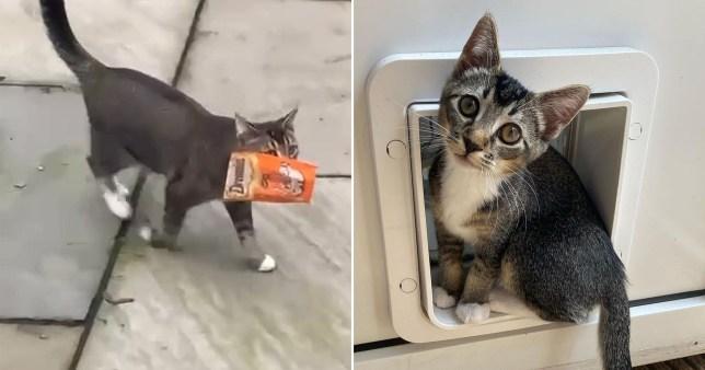 naughty kitten Zico carrying a stolen bag of treats home