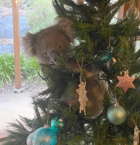 Un koala sur l'arbre de Noël en Australie