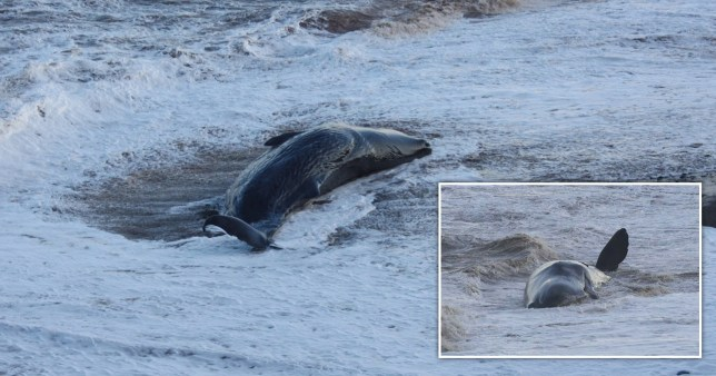 Ten sperm whales die after becoming stranded off Yorkshire coast