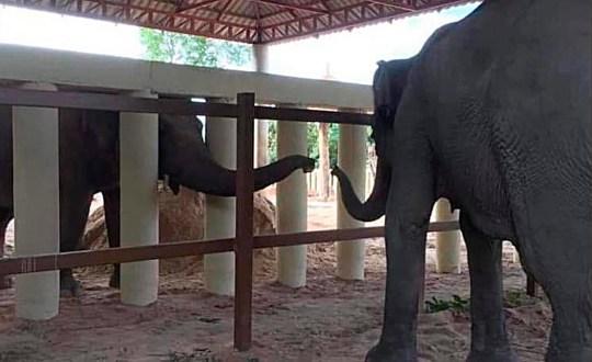 Kaavan, un éléphant d'Asie, étend sa trompe derrière des poteaux blancs pour atteindre un autre éléphant au sanctuaire de la faune de Kulen Prom Tep le mardi 1er décembre 2020 à Oddar Meanchey, au Cambodge.  Kaavan, surnommé l'éléphant le plus solitaire du monde après avoir vécu seul pendant des années dans un zoo pakistanais, a attiré l'attention du monde entier, a maintenant déménagé dans un sanctuaire qui abrite d'autres pachydermes.  (Quatre pattes via AP)