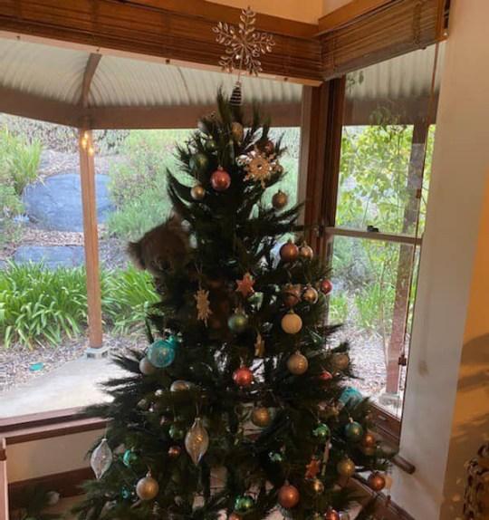 Koala se faufile dans la maison familiale et grimpe à l'arbre de Noël Image: 1300Koalaz