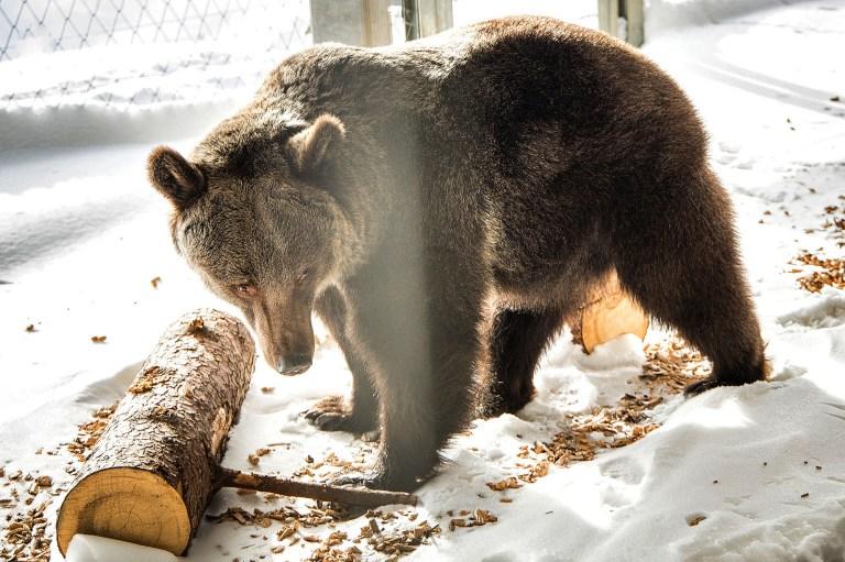 L'ancien ours de cirque Jambolina a été transféré dans une nouvelle maison dans le sanctuaire des ours d'Arosa.  (Stiftung Arosa Baren, VIER PFOTEN / Newsflash)