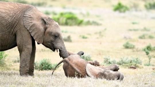 On peut voir un bébé éléphant se tortiller sur le sol tandis que son frère aîné le chatouille avec sa trompe.
