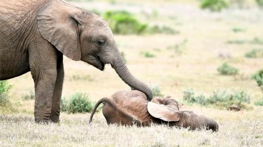 Éléphants jouant