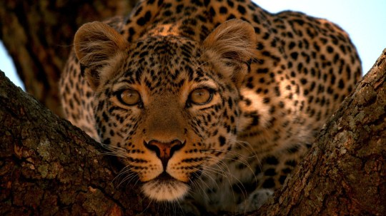 Fig in a tree, looking alert. (Wildlife Films/Luke Cormack)