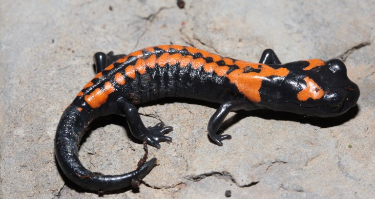 Isthmura bellii, commonly known as Bell's false brook salamander or Bell's salamander, is a species of salamander in the family Plethodontidae.