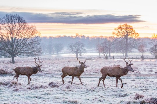 UNITED KINGDOM, London: 30 December 2020 Red deer walk amongst a frosty Richmond Park, London this morning. A yellow warning of snow and ice has been issued as the cold weather is set to stay for the next few days.