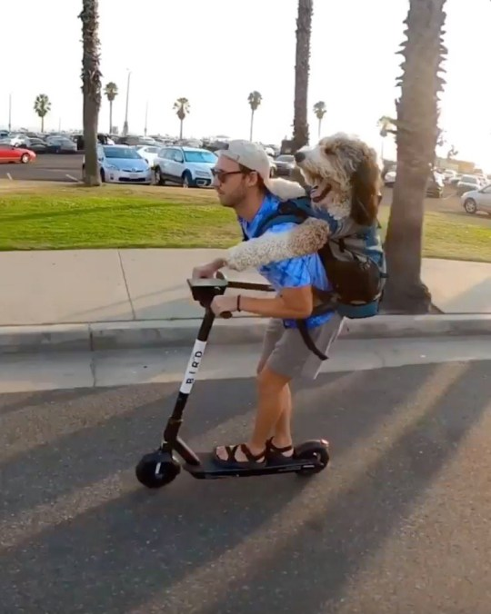 Story from Jam Press (Rollerblading With Dog) // Pictured: Andrew Laske and Benji. // Moment man goes rollerblading through city streets with 75-pound dog strapped to his back // A man has gone viral thanks to an adorable video of him rollerblading with a 75-pound dog on his back. Andrew Laske, 30, from Venice, Los Angeles, California has an incredibly close bond with his dog, Benji, four. The owner and his fluffy friend do everything together ??? from travelling to hiking, paddle boarding and even visiting children???s hospitals to spread some joy. The best friends have now captured hearts around the globe thanks to their impressive rollerblading routine. In a series of video clips, Andrew can be seen whizzing through the sunny streets of LA while holding on to Benji's paws, as he rests on his shoulders. The pair have also ridden on a scooter together. ???Benji is a very good boy,