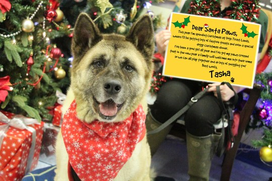 Tasha an Akita with her letter to Santa Paws