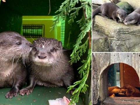 Two lonely otters whose partners died find happiness after being matched by their keepers