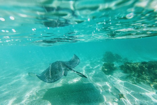 Stingray swims in the bay of Stingray City a sanctuary for marine species Caribbean Antigua Leeward Islands West Indies