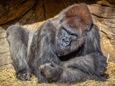 Eight gorillas catch Covid and are showing same symptoms as humans