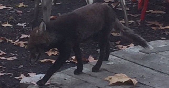 Rare black fox spotted prowling around garden in south London
