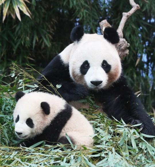 epa08918107 Bébé panda Fu Bao est assis avec sa mère Ai Bao au parc d'attractions Everland à Yongin, au sud de Séoul, Corée du Sud, 4 janvier 2021. La petite femelle est née du panda géant de sept ans et de son partenaire, neuf- Le Bao, un an, le 20 juillet 2020. Les pandas géants ont été expédiés de Chine vers la Corée du Sud en mars 2016 dans le cadre d'une recherche conjointe sur les espèces menacées. EPA / YONHAP CORÉE DU SUD OUT