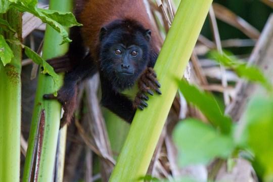 C5CTEB Red Howler monkey, Lake Sandoval, Tambopata National Park, Peru