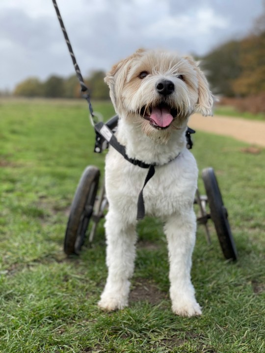 CATERS NEWS - (PICTURED Benji the rescue dog smiling, loving his new life) A paralysed rescue dog - who was dumped in a rubbish tip - now never stops smiling after find his fur-ever home. Benji - a West Highland White Terrier mix - was found in Romania and had been almost beaten to death before he was rescued. With a broken spine, the pooch was clinging onto life in a rubbish tip before he was found and taken for specialised vetinairy care. Benji underwent a double amputation in a bid to give him the best possible chance of independence and has since been adopted. SEE CATERS COPY