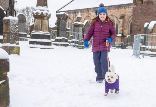 Happy dog in purple jumper enjoys the snow in Dunblane, Scotland. Jan 14 2021