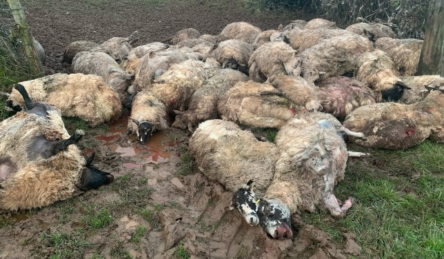 Gwent Police   Rural Crime Team @GPRuralCrime ? Jan 16 We are investigating the death of 50 ewes in North Monmouthshire, following a livestock worrying incident where the sheep were forced into the corner of a field and died there. This is taken seriously by all #ruralcrimeteams @FarmWatcherUK Report all livestock attacks on 101